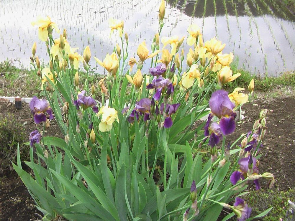 花と野菜  5月 2020-5-23_c0335218_03235944.jpg
