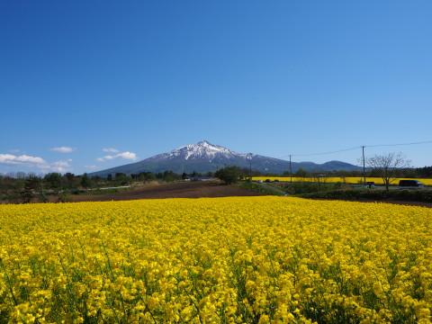 菜の花&岩木山(鯵ケ沢町)*2020.05.14_b0147224_15173390.jpg