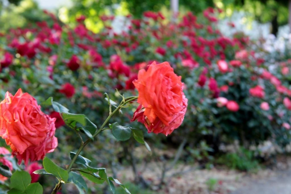 バラ公園の散歩_a0355356_06535028.jpg