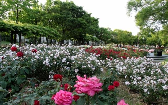 バラ公園の散歩_a0355356_06542187.jpg
