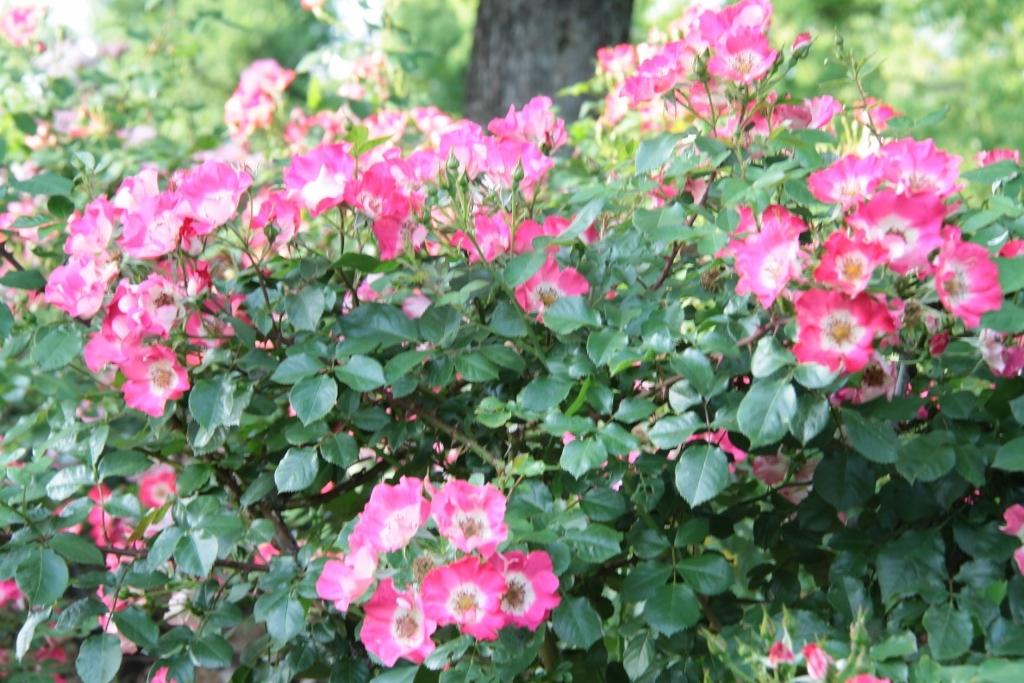バラ公園の散歩_a0355356_06584625.jpg