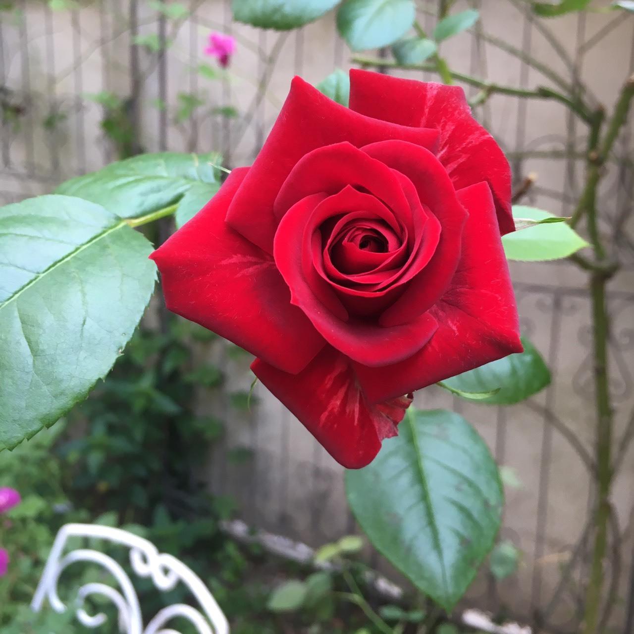 情熱のバラ、ニコロパガニーニ_a0094959_10203531.jpg