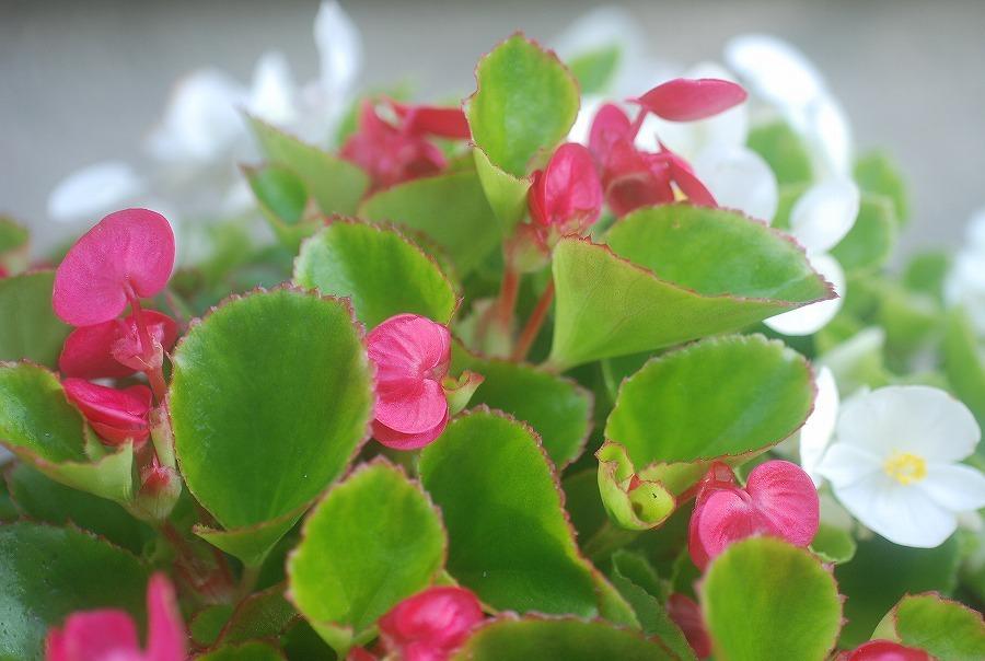 五月の庭の花々_c0187781_10325183.jpg