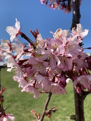 アイスランド名物になるか?!桜が満開!_c0003620_11310838.jpeg