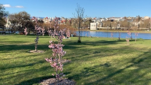 アイスランド名物になるか?!桜が満開!_c0003620_11312311.jpeg