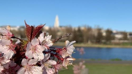 アイスランド名物になるか?!桜が満開!_c0003620_11312341.jpeg