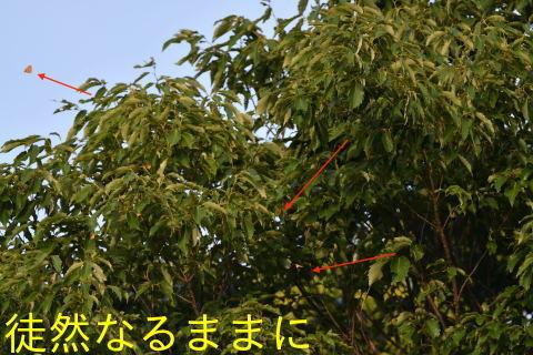 ウラゴマダラシジミ                    アカシジミとウラナミアカシジミは証拠写真_d0285540_19403567.jpg
