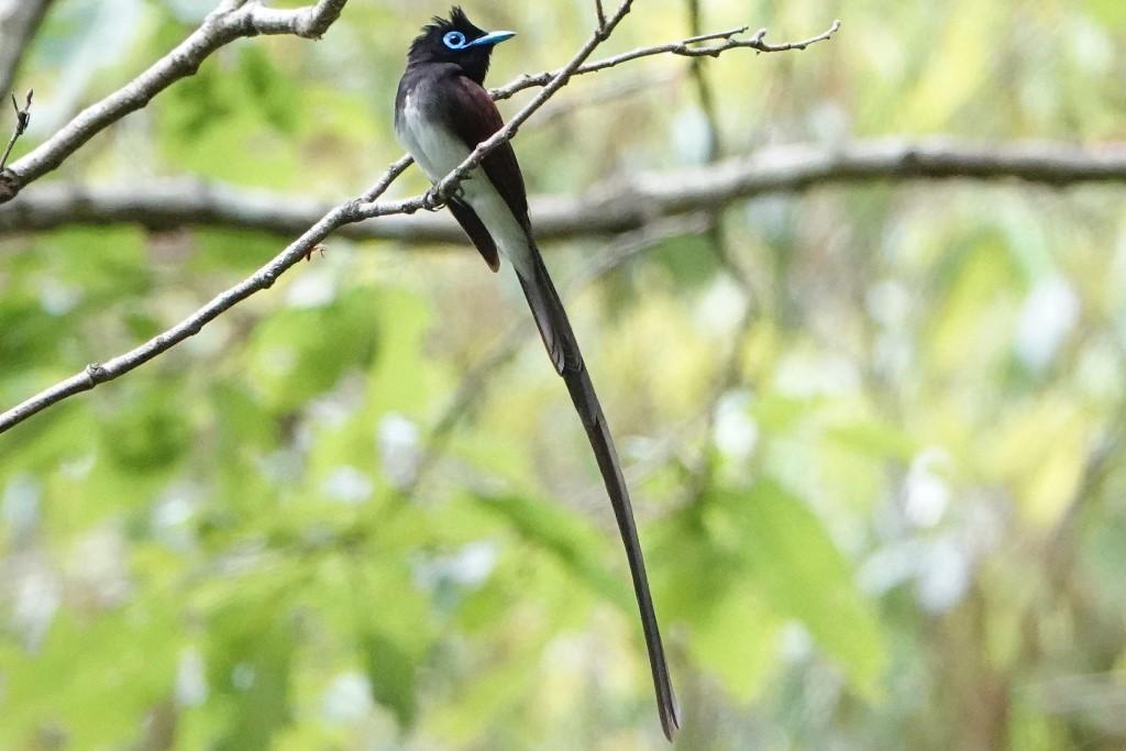 野鳥トレ 211 サンコウチョウ_b0227552_17535242.jpg
