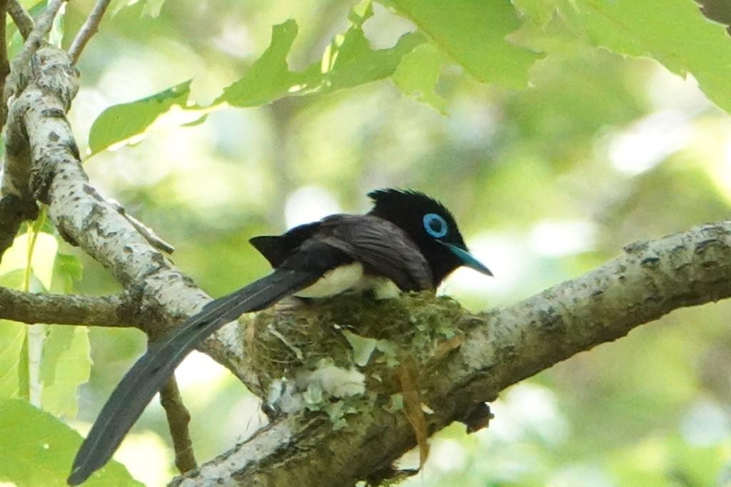 野鳥トレ 211 サンコウチョウ_b0227552_17535335.jpg