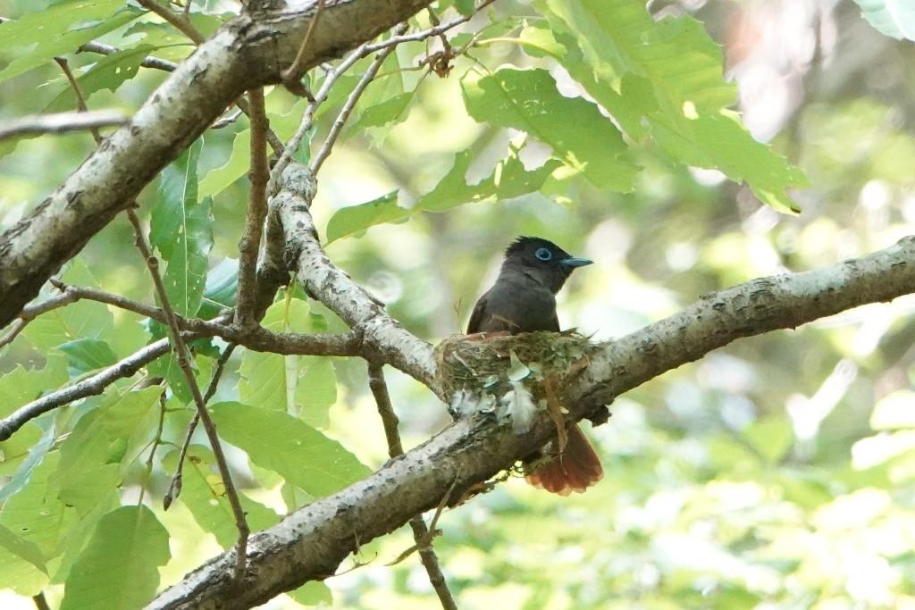 野鳥トレ 211 サンコウチョウ_b0227552_17535336.jpg