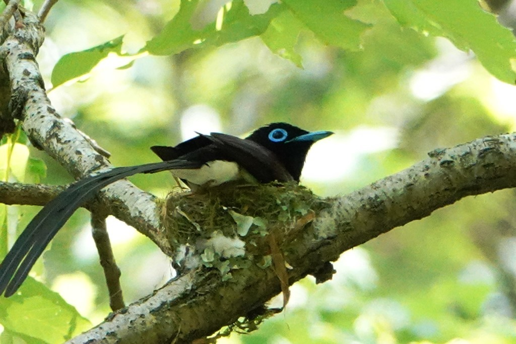 野鳥トレ 211 サンコウチョウ_b0227552_17535351.jpg