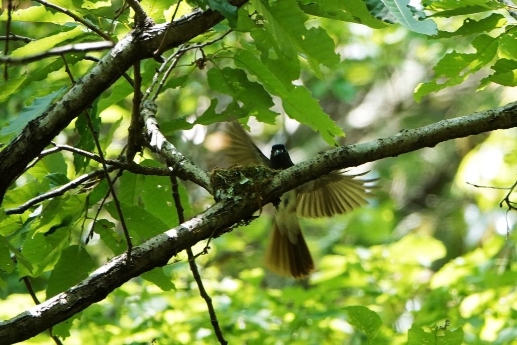 野鳥トレ 211 サンコウチョウ_b0227552_17535396.jpg