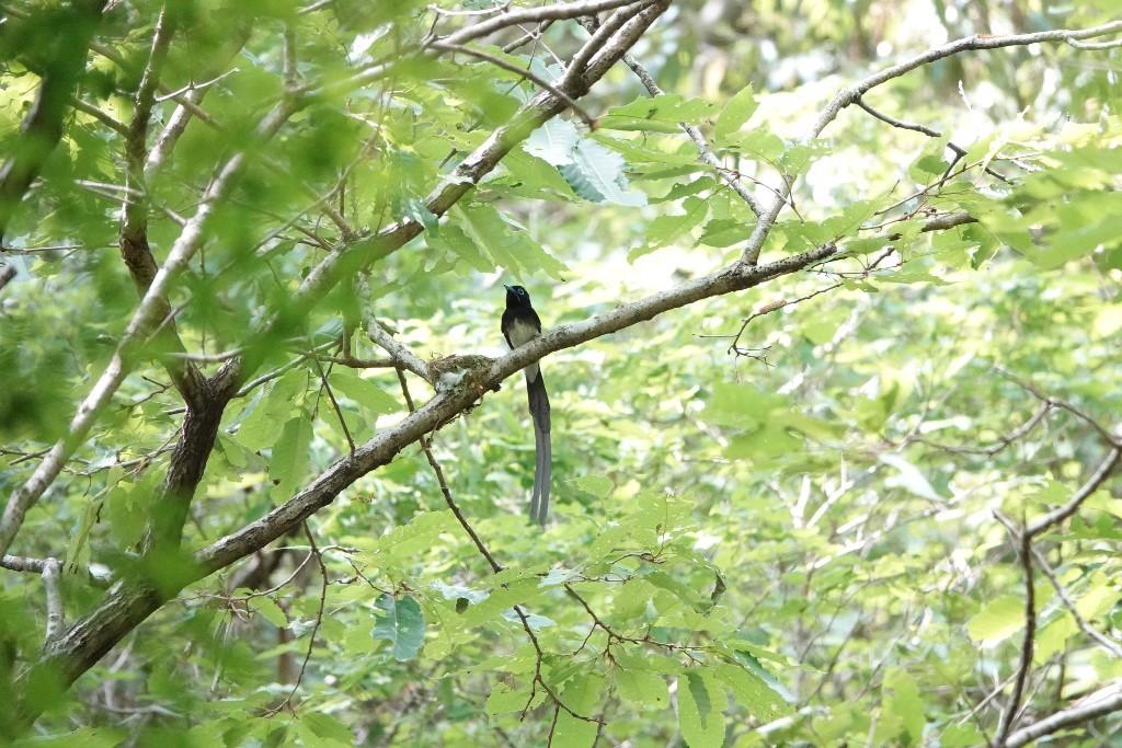 野鳥トレ 211 サンコウチョウ_b0227552_17535442.jpg