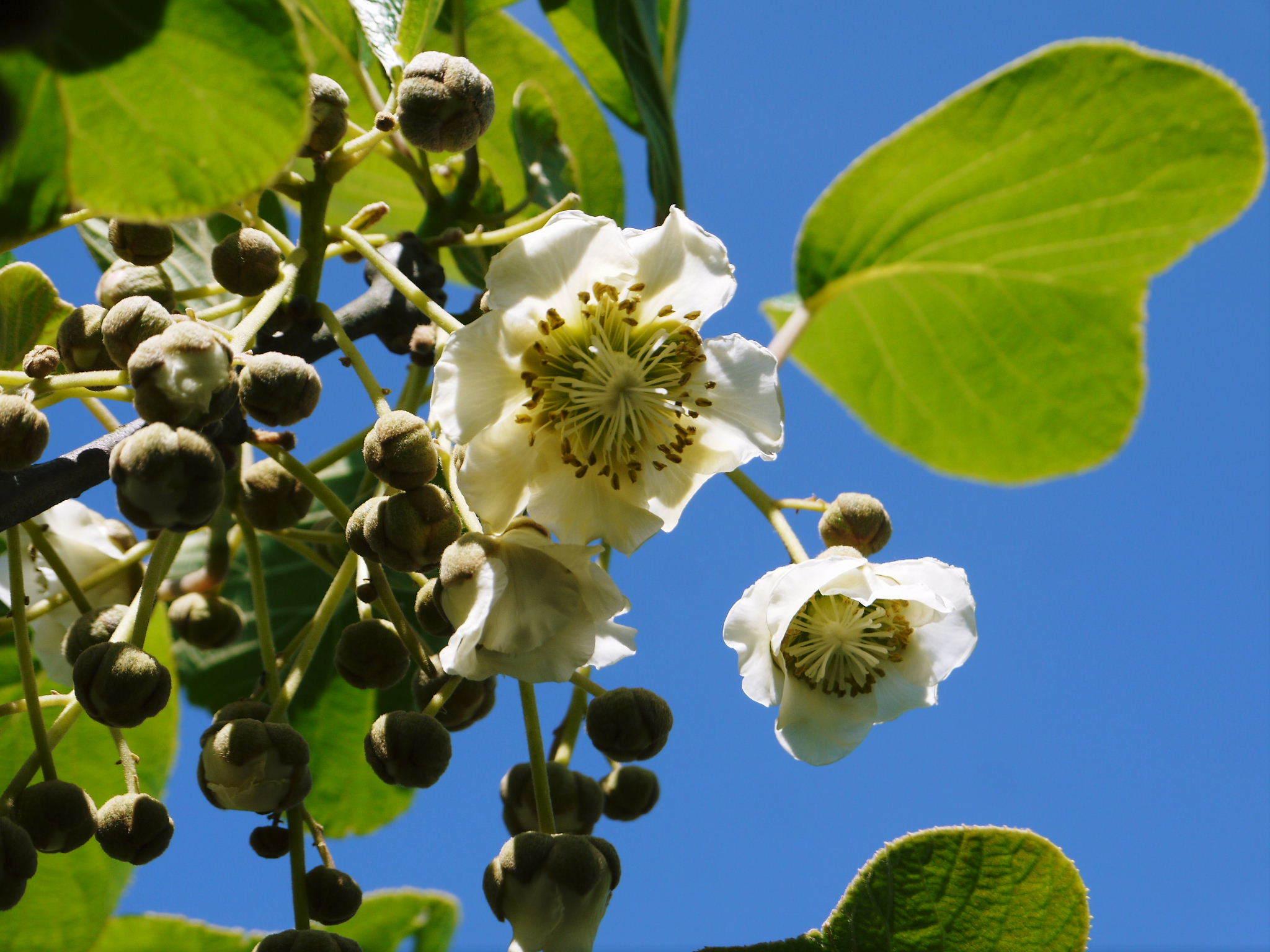 水源キウイ 開花から交配、着果、そして摘果作業の話し(2020年) _a0254656_18270149.jpg