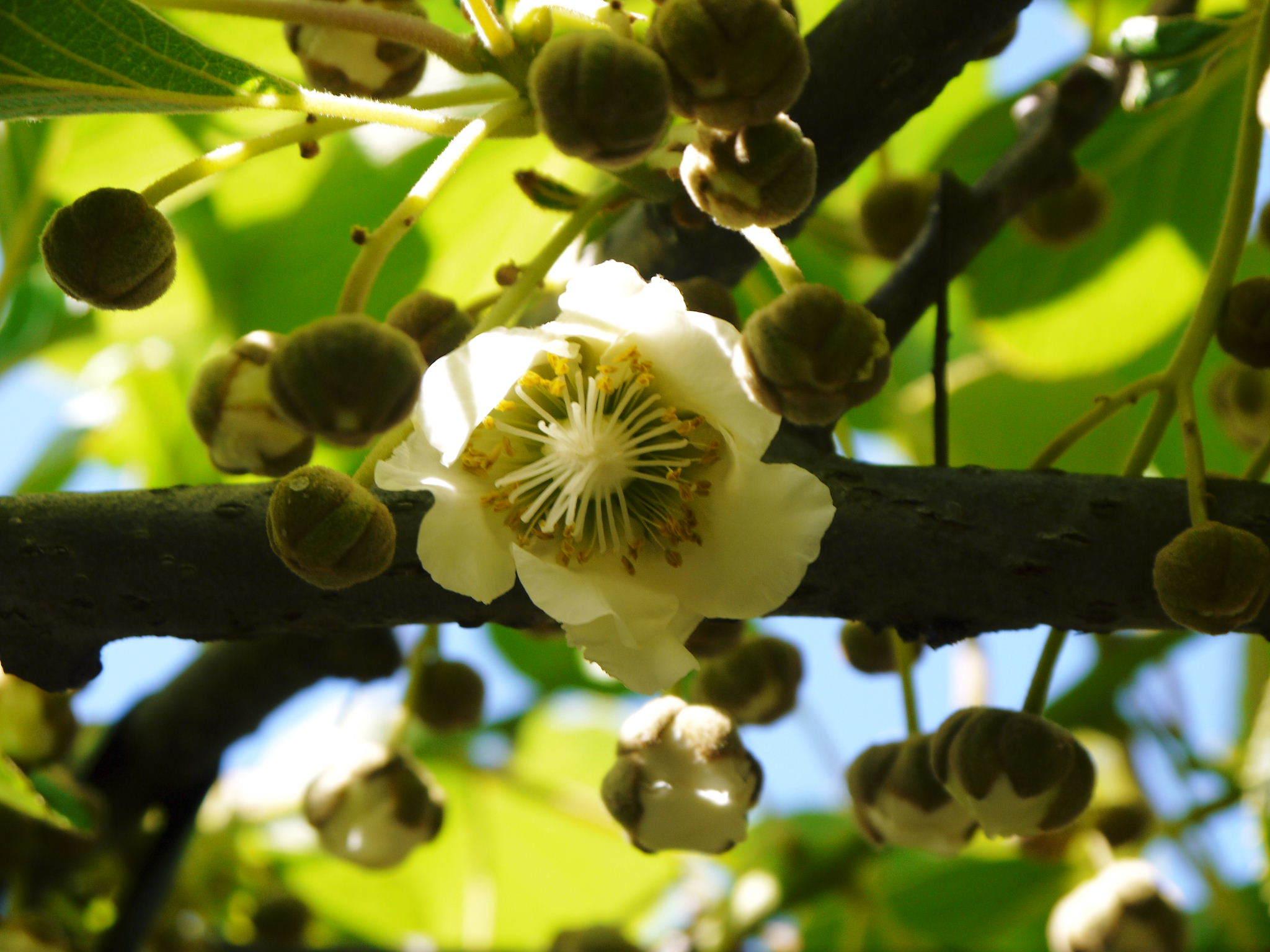 水源キウイ 開花から交配、着果、そして摘果作業の話し(2020年) _a0254656_18360373.jpg