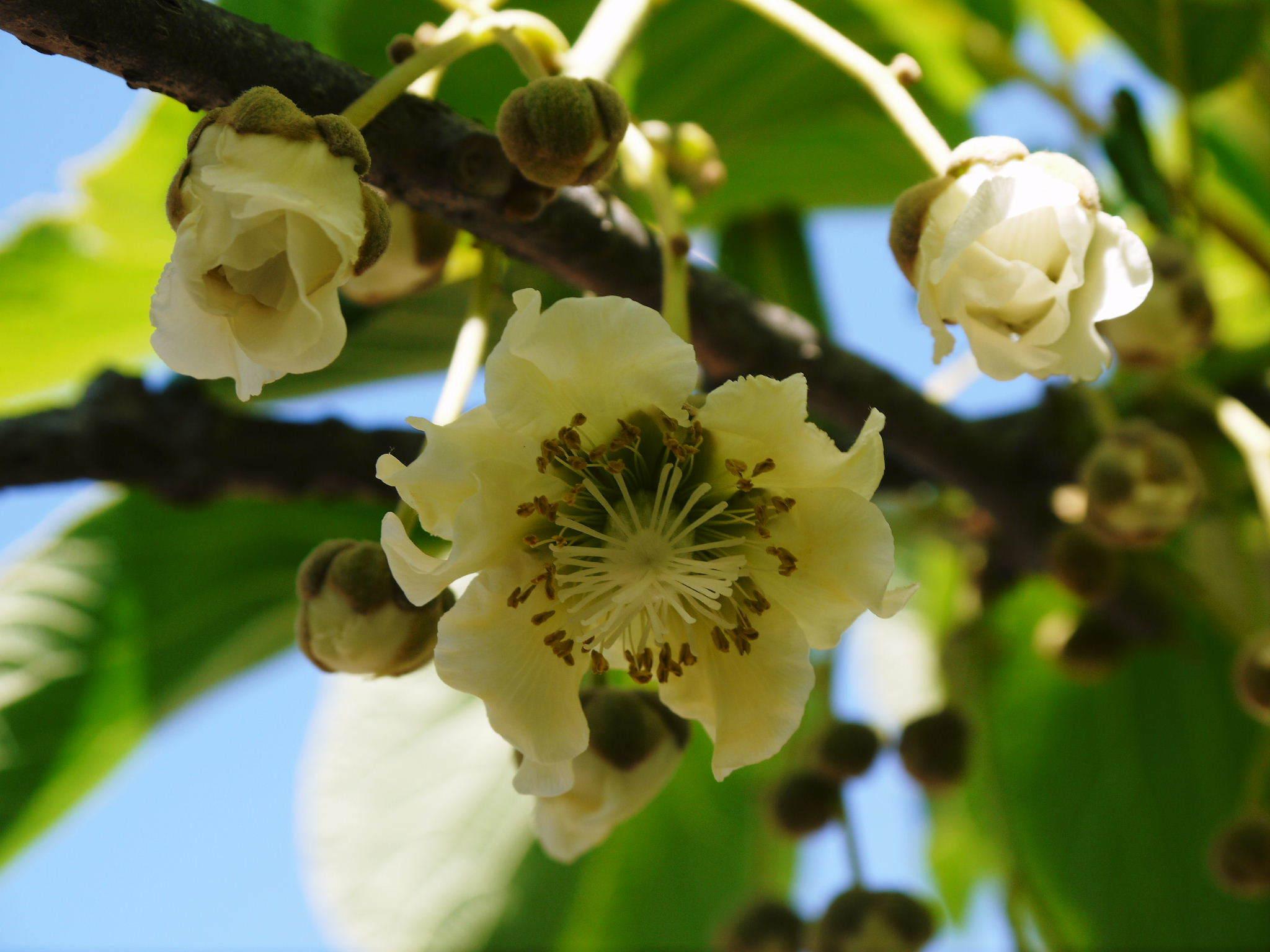 水源キウイ 開花から交配、着果、そして摘果作業の話し(2020年) _a0254656_18374569.jpg