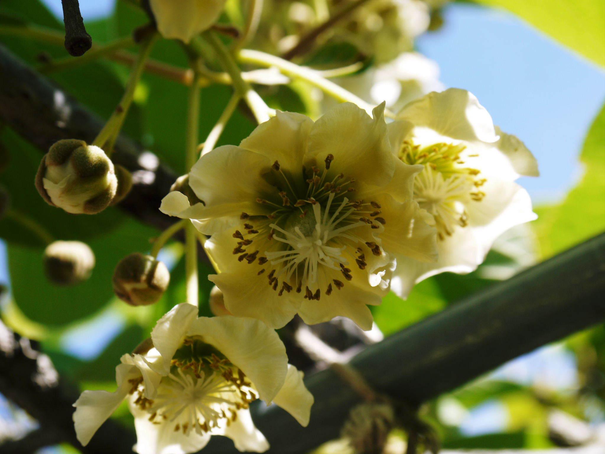 水源キウイ 開花から交配、着果、そして摘果作業の話し(2020年) _a0254656_18390818.jpg
