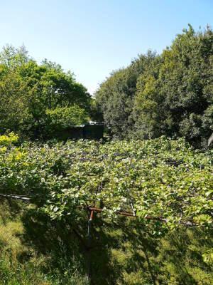 水源キウイ 開花から交配、着果、そして摘果作業の話し(2020年) _a0254656_18415007.jpg