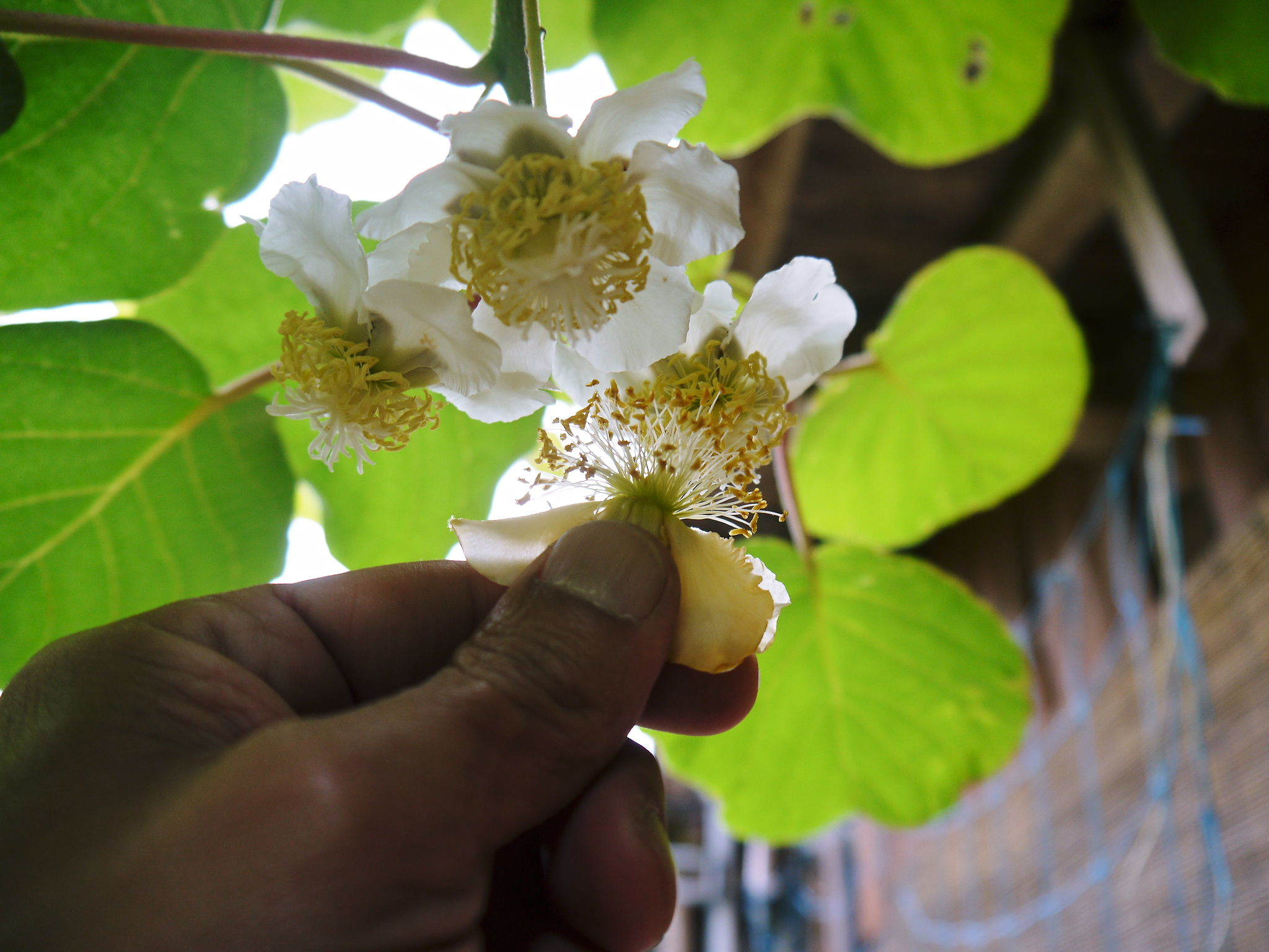 水源キウイ 開花から交配、着果、そして摘果作業の話し(2020年) _a0254656_18434251.jpg