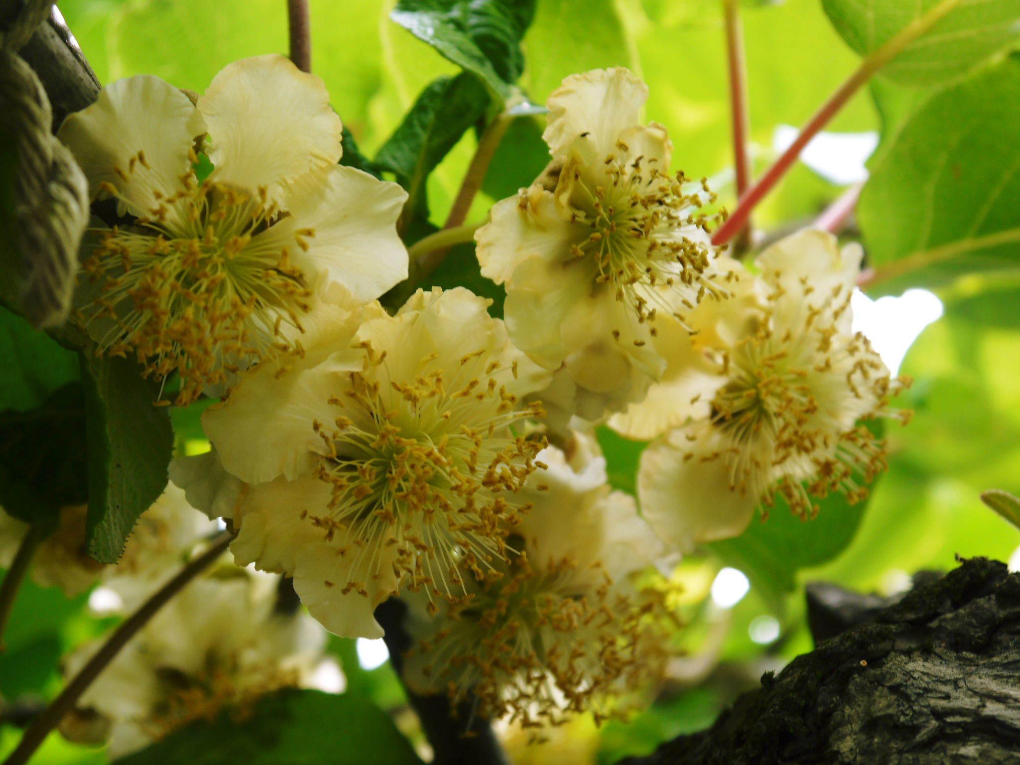 水源キウイ 開花から交配、着果、そして摘果作業の話し(2020年) _a0254656_18585923.jpg