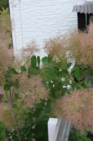初夏の庭花とパイナップル_d0291758_22321055.jpg
