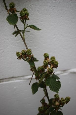 初夏の庭花とパイナップル_d0291758_22371619.jpg
