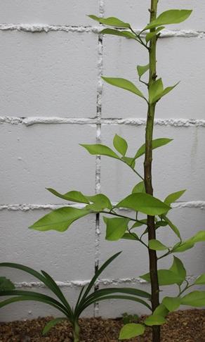 初夏の庭花とパイナップル_d0291758_22422760.jpg