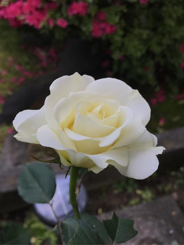 C Iさんの日本のバラ 和音_a0094959_11275258.jpg
