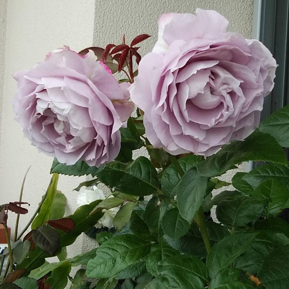 紫〜ブルー系のバラ_a0094959_16333922.jpg