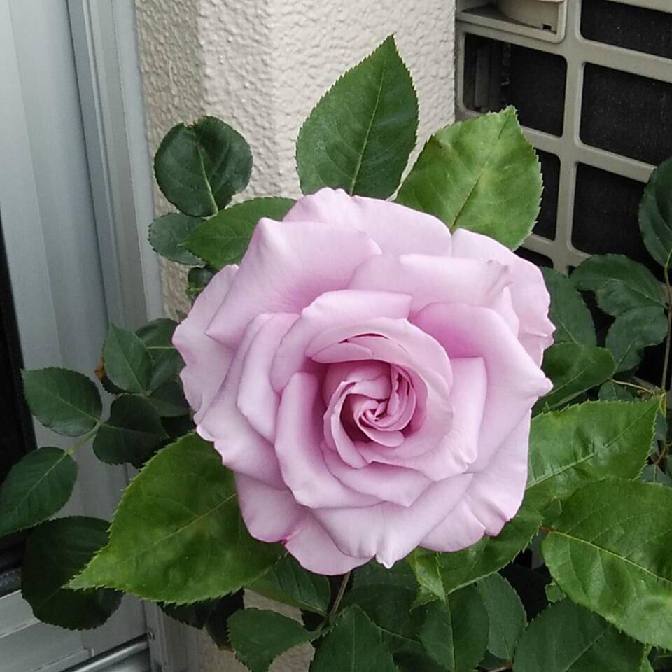 紫〜ブルー系のバラ_a0094959_16333987.jpg
