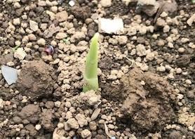 生姜の発芽確認、ネギの定植に向けた準備5・24_c0014967_07061411.jpg