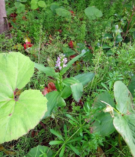 自然発生のノビネチドリ、今年も開花♪_a0136293_15354280.jpg