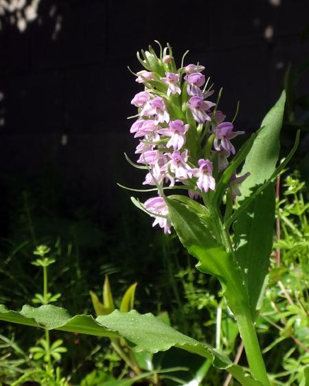 自然発生のノビネチドリ、今年も開花♪_a0136293_15442362.jpg