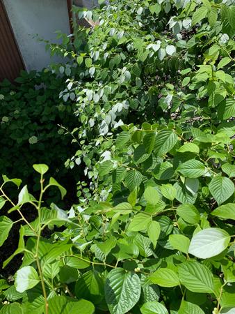 5月の庭 2020 - 1_f0239100_22440742.jpg