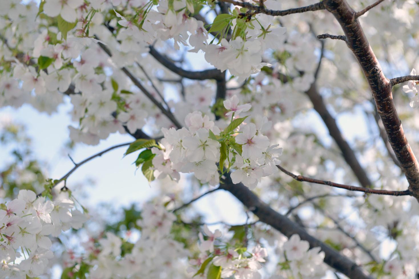 保土ヶ谷公園の桜_d0085413_17020612.jpg