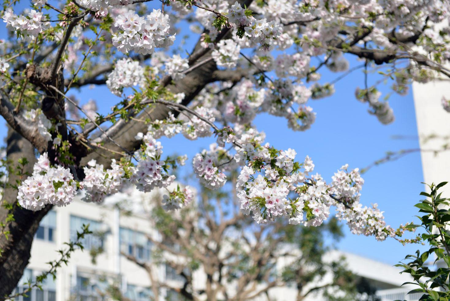 保土ヶ谷公園の桜_d0085413_17040927.jpg
