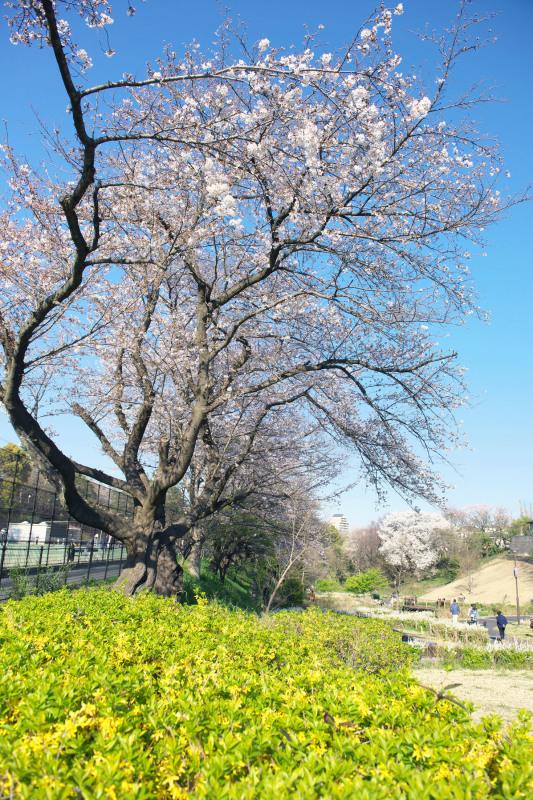 保土ヶ谷公園の桜_d0085413_17041102.jpg
