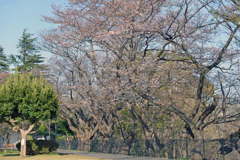 保土ヶ谷公園の桜_d0085413_17041238.jpg