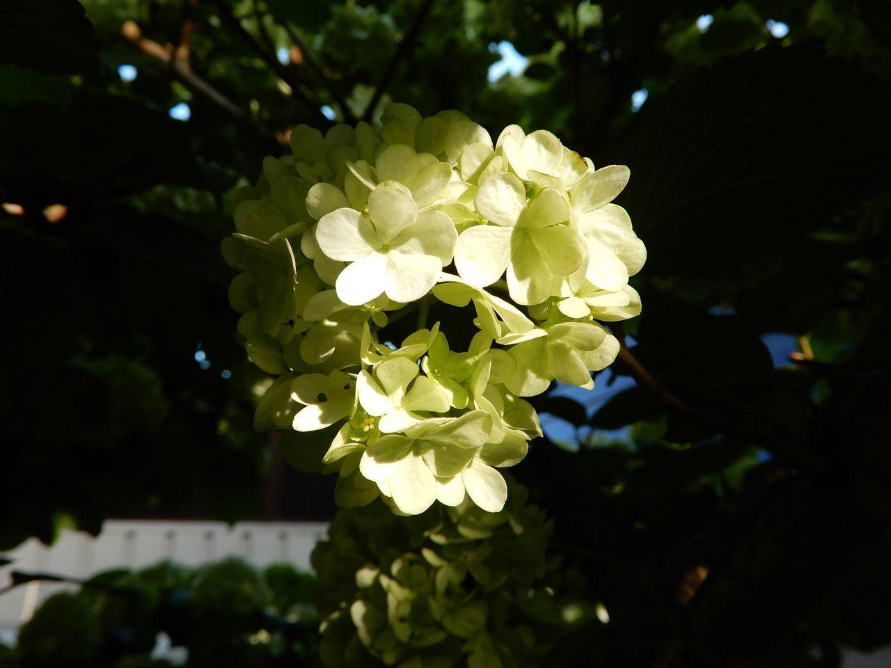 白さが増してきたオオデマリ_c0025115_22552605.jpg