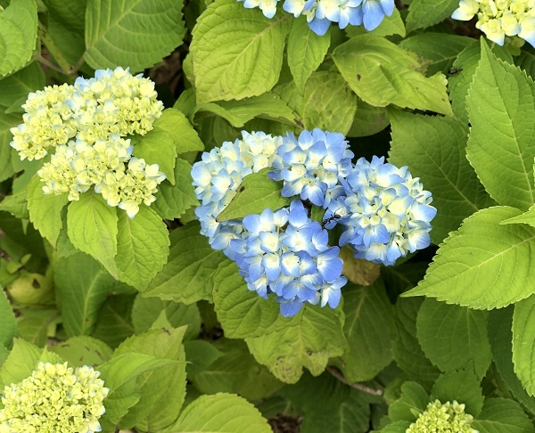 そろそろ紫陽花の季節_b0100229_14133484.jpg