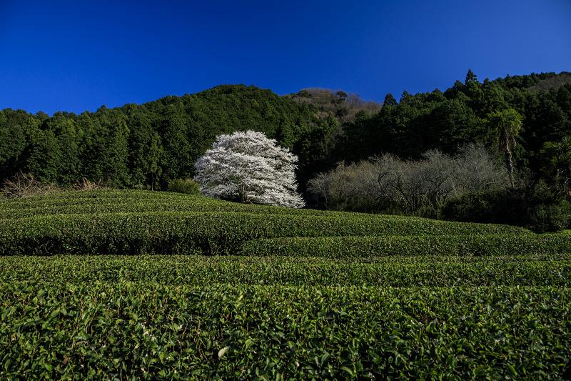 2020桜咲く三重 美杉竹原の薄墨桜_f0155048_1937192.jpg