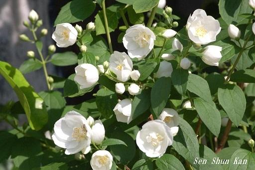 バイカウツギ(梅花空木)の白い花  2020年5月25日_a0164068_23175317.jpg