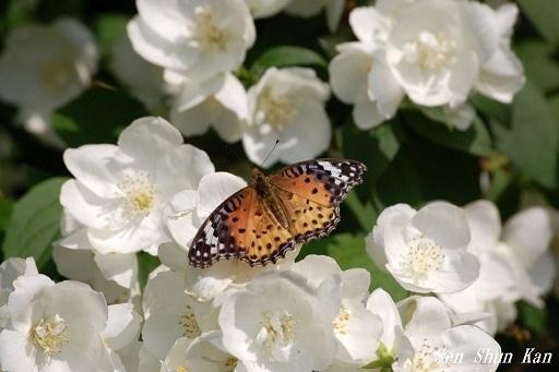バイカウツギ(梅花空木)の白い花  2020年5月25日_a0164068_23175365.jpg