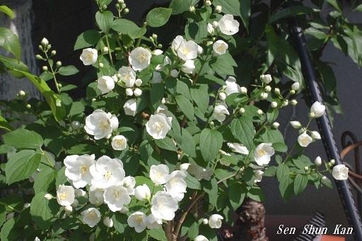 バイカウツギ(梅花空木)の白い花  2020年5月25日_a0164068_23175393.jpg