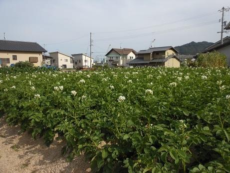 ジャガイモの花は街なかでも、間もなく収穫だ_e0175370_19555452.jpg