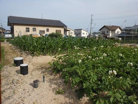 ジャガイモの花は街なかでも、間もなく収穫だ_e0175370_19561228.jpg