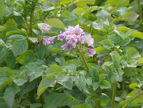 ジャガイモの花は街なかでも、間もなく収穫だ_e0175370_19562490.jpg