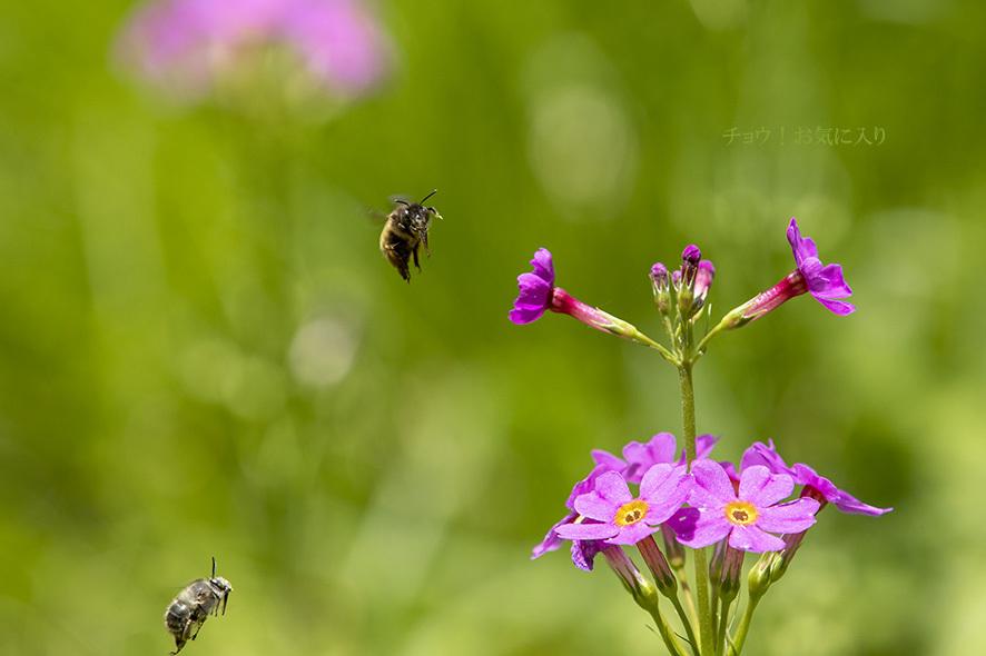クリンソウを訪れる虫たち_b0315912_01331458.jpg