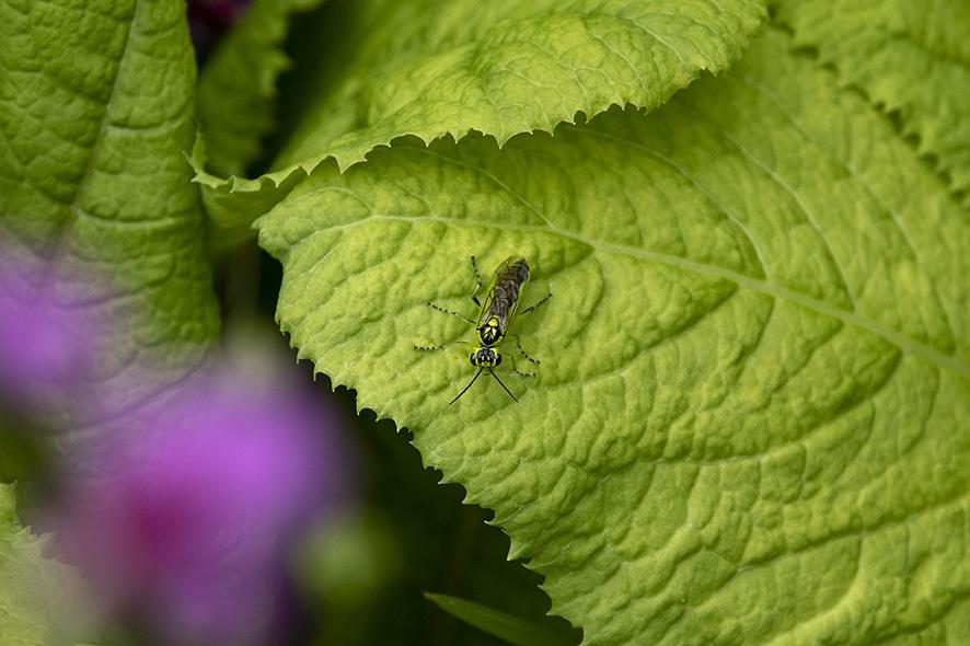クリンソウを訪れる虫たち_b0315912_01342041.jpg