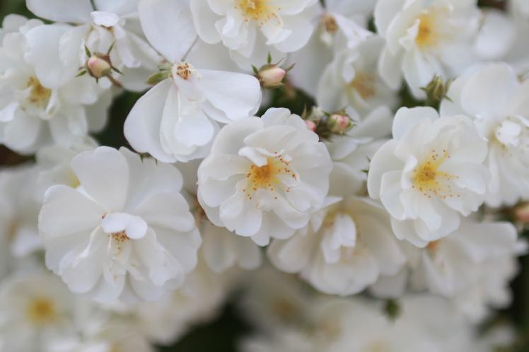 長居植物園のバラ_f0209122_09571783.jpg